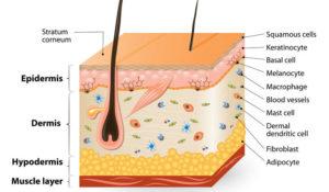 Meraviglioso organo pelle